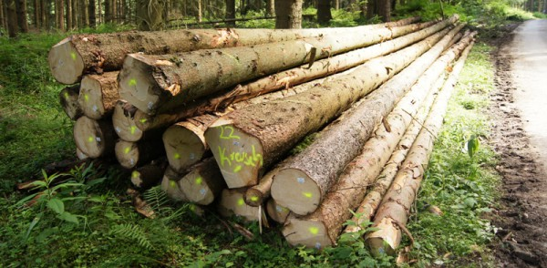 Langholz Fichte - Bild: Wald-Prinz