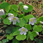 764px-Common_wood_sorrel_(aka)