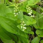 Maianthemum_bifolium1
