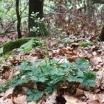Wald-Sanikel