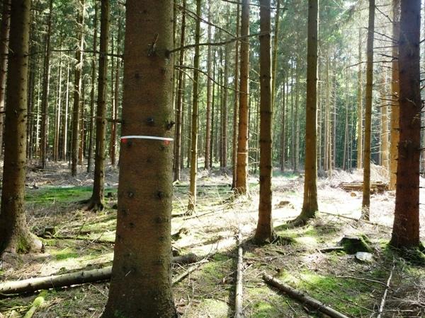 Z-Baum Markierung mit weißem Kunststoffband und Farbpunkt - Bild: Wald-Prinz
