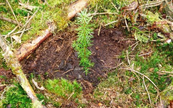Douglasienpflänzchen frisch eingepflanzt