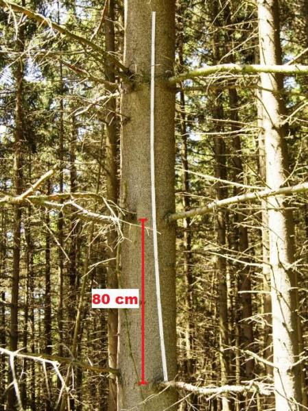 Quirlabstand Fichte - Bild: Wald-Prinz
