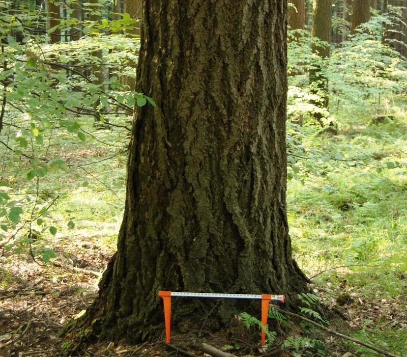 70-jährige Douglasie mit einem Brusthöhendurchmesser von 75 cm (!) - Bild: Wald-Prinz