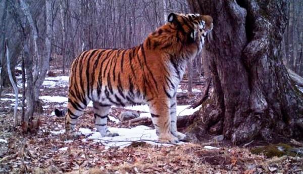Sibirischer Amur Tiger - Bild: Dr. Linda Kerley