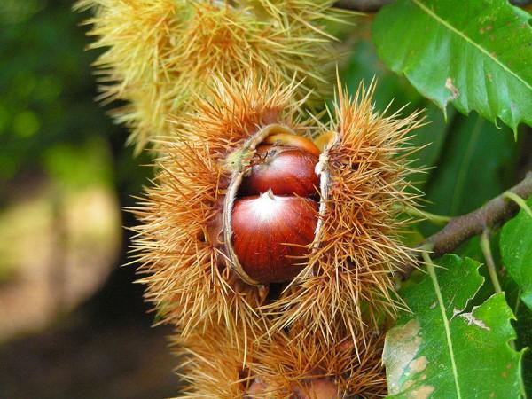 Die Frucht der Edelkastanie - Bild: Wikipedia