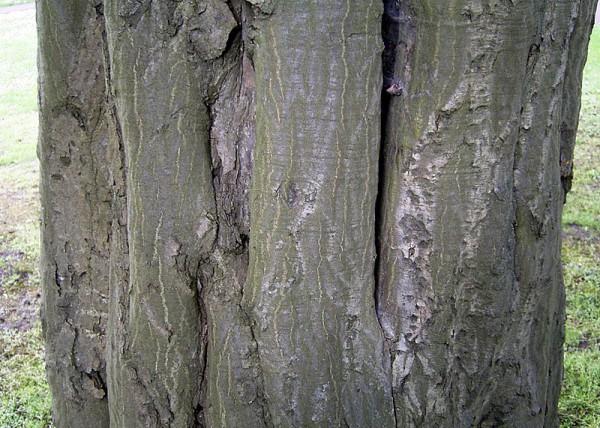 Der knorrige Stamm einer alten Hainbuche - Bild: Wikipedia