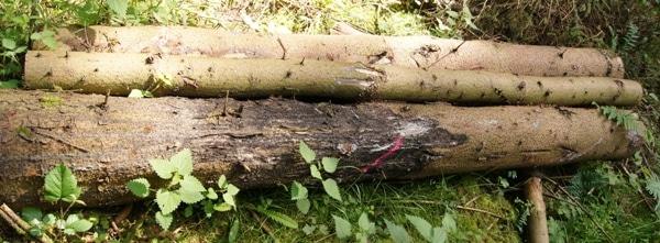 Durch Schälschäden entwertetes Holz bringt nur einen Bruchteil des möglichen Erlöses - Bild: Wald-Prinz.de