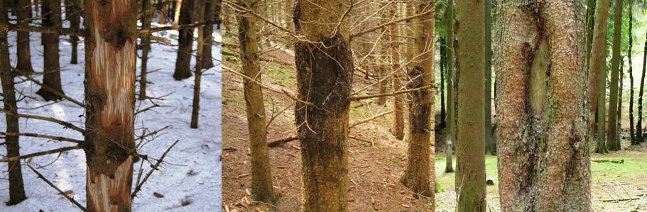 Schälschäden in unterschiedlichen Stadien - Bild: Wald-Prinz.de