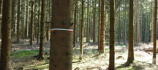 Markierung der Z-Bäume mit Spraydose und Kunststoffband - Bild_ Wald-Prinz.de