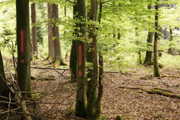 Die Ausrufezeichen auf einer ansonsten gesunden Baumgruppe weisen auf einen jagdlichen Gefahrenbereich hin - Bild: Wald-Prinz.de