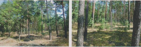 Objekt Nr. 48: eine 5.78 ha große Forstliegenschaft mit 35-96 Jahre alter Kiefer - Bild: Karhausen