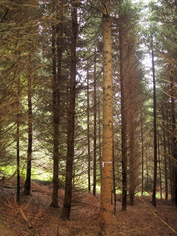 geasteter Z-Baum - Bild: Wald-Prinz.de