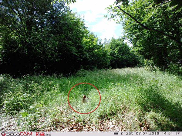 Diese Aufnahme hätten wir von einer Weitwinkel-Wildkamera auf keinen Fall erwartet. hier stimmt alles: Verschlusszeit, Auslösepräzision und Bildqualität - Bild: Wald-Prinz.de