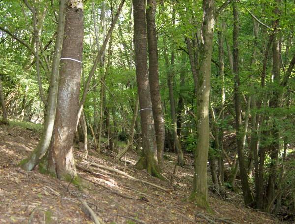 Neben den Vogelkirschen fühlt sich die Hainbuche sehr wohl in den Waldstücken - Bild: Wald-Prinz.de