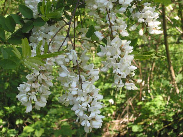 Blüte der Robinie - Bild: Rasbak/Wikipedia