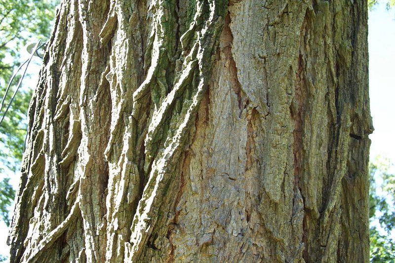Die Robinie: schnellwachsend, tolles Holz, aber mit ...