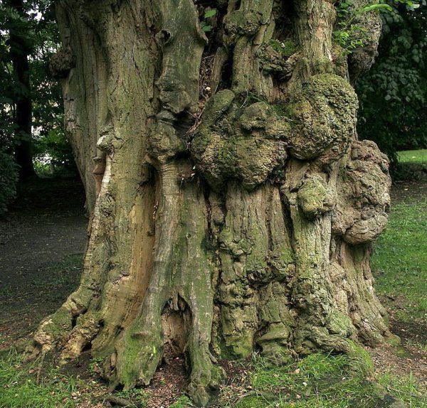 Stamm einer alten Robinie - Bild: Wikipedia