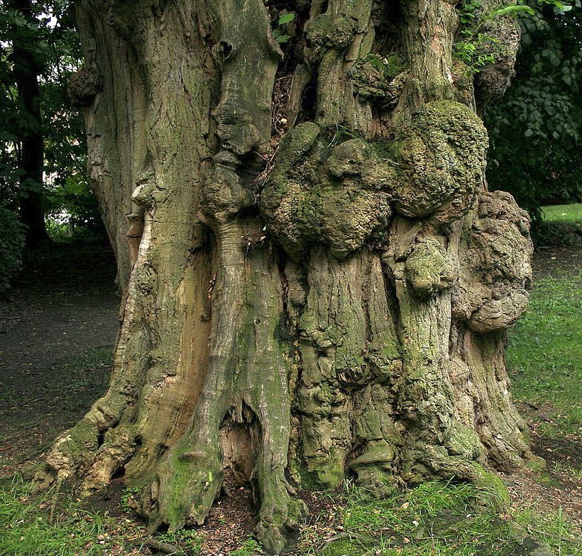 Berühmt Die Robinie: schnellwachsend, tolles Holz, aber mit Vorsicht zu &AI_74